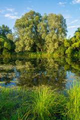 Ива на берегу реки Тёша