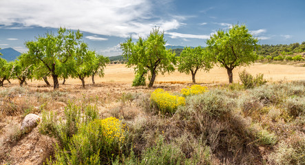 Almond Trees Field on Summer