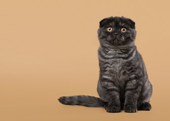 Black smoke scottish fold kitten on light brown background