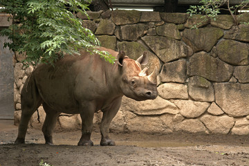 Black rhino, Tokyo, Japan