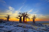 Baobabs on Kubu at Sunrise - 67698261