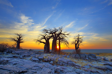 Baobabs on Kubu at Sunrise