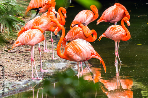 Papiers peints Flamant Portrait of American Flamingos