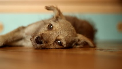 cute mongrel lying on yellow wooden floor