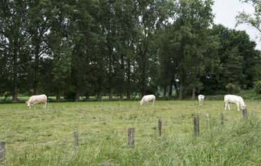 white cows grazing green grass