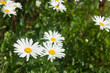 white daisyes