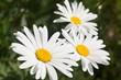 three white daisies