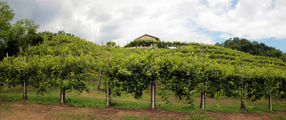 Panoramic view of vineyards in the hills