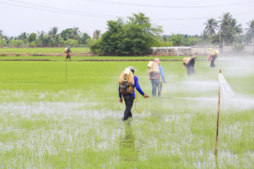 Farmer spray the fertilizer in rice field