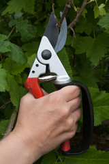 The garden pruner in women's hand