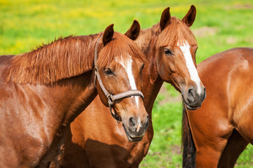 Portrait of two red horses on the pasture