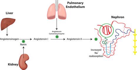 Renin Angiotensin Aldosterone System and Nephron