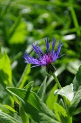 fleurs de montagne-savoie