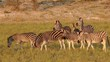Plains (Burchells) Zebras walking in natural habitat