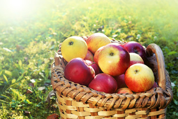Apfelernte, Korb mit frischen Äpfeln