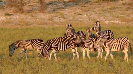 Plains (Burchells) Zebras walking in natural habitat