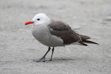 Heermanns Gull (Larus heermanni) By The Ocean