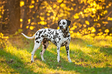 Dalmatian dog at sunset