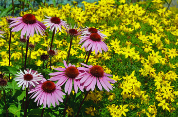 Purple summer echinacea flowers