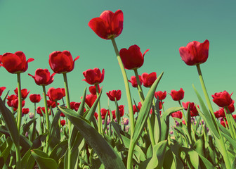 red tulips - vintage retro style