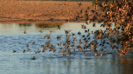 Red-billed Queleasdrinking water at a waterhole