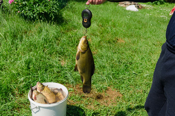 fisher weighs shiny big tench fish