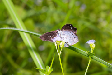 Common Snow Flat butterfly