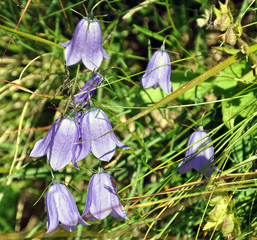 mountain gentian in bloom in summer