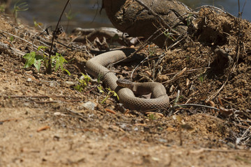 Northern Watersnake Sunning