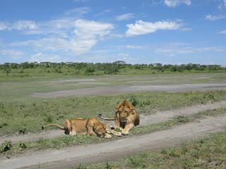 Coppia di leoni in africa