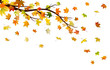 Branch with autumn maple leaves, isolated on white background.