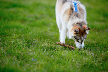 Husky dog with a wooden stick in his mouth