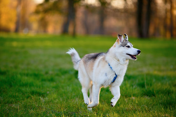 Husky dog frolic in a summer park