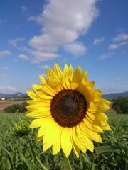 Girasole, Umbria, Italia