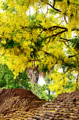 Golden shower flower with Ancient wall of Chiangmai city
