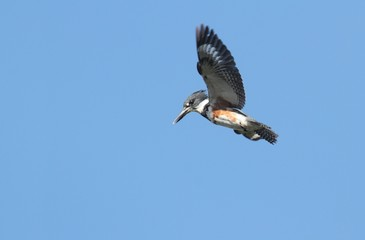 Belted Kingfisher (Ceryle alcyon)