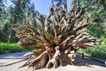 Fallen Sequoia in Mariposa Grove, Yosemite National Park
