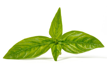 Leaves of basil isolated on white