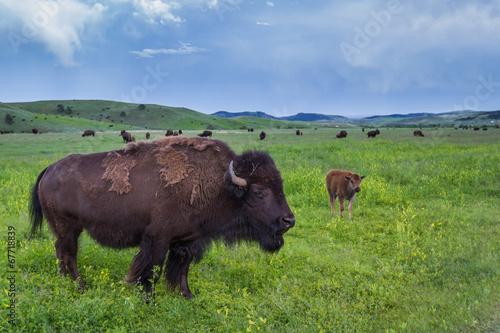 Foto op Plexiglas Buffel American Buffalo