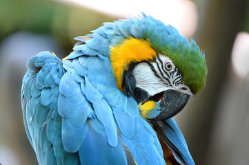 Macaw Grooming Feathers