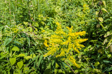 Yellow flowering heads of Goldenrod plants