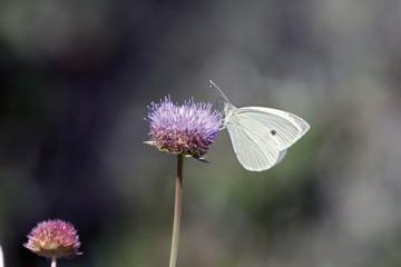 Mariposa blanquita de la col, Sauceda, Hurdes, España