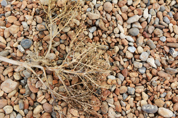 Dead sea kale on a shingle beach