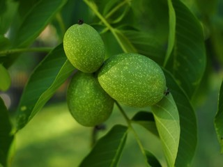 The close up-walnut fruits