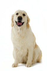 Golden Retriever in posa