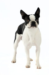cane piccola taglia bianco e nero
