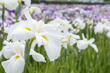 白と黄色の花菖蒲の花