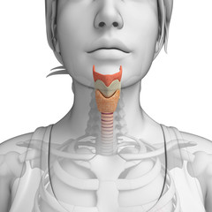 feMale throat anatomy