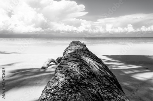 Fallen palm tree in black and white © stanciuc