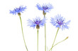 canvas print picture - knapweed flower